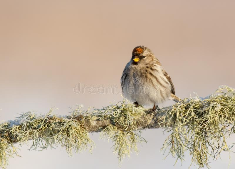 Common redpoll - Acanthis flammea. At a wetland on frosty winter day stock image