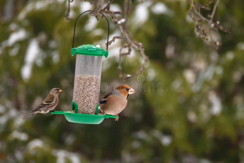 Common redpoll Acanthis flammea and Hawfinch bird Coccothraustes coccothraustes. Sitting on green plastic bird feeder in garden, during winter time royalty free stock photography