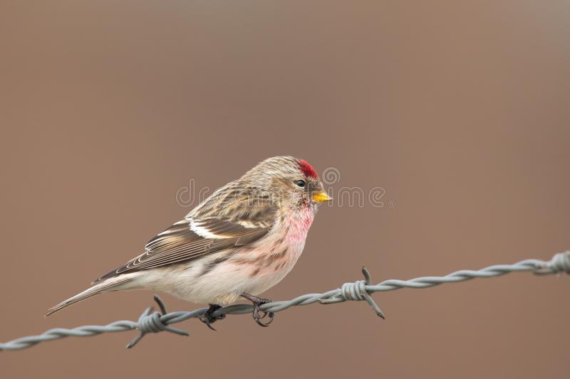 Common Redpoll acanthis flammea sitting on a barbed wire. With a nice clear background royalty free stock photos