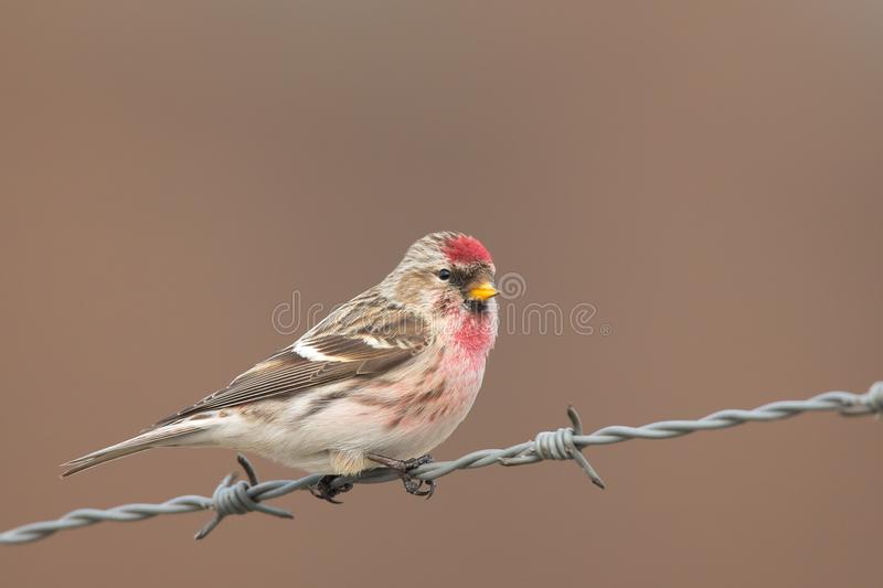 Common Redpoll Acanthis flammea. royalty free stock photos