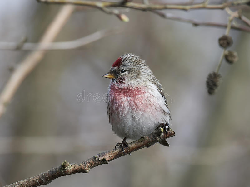 Common redpoll Acanthis flammea. Common redpoll sitting on a branch in its habitat royalty free stock image