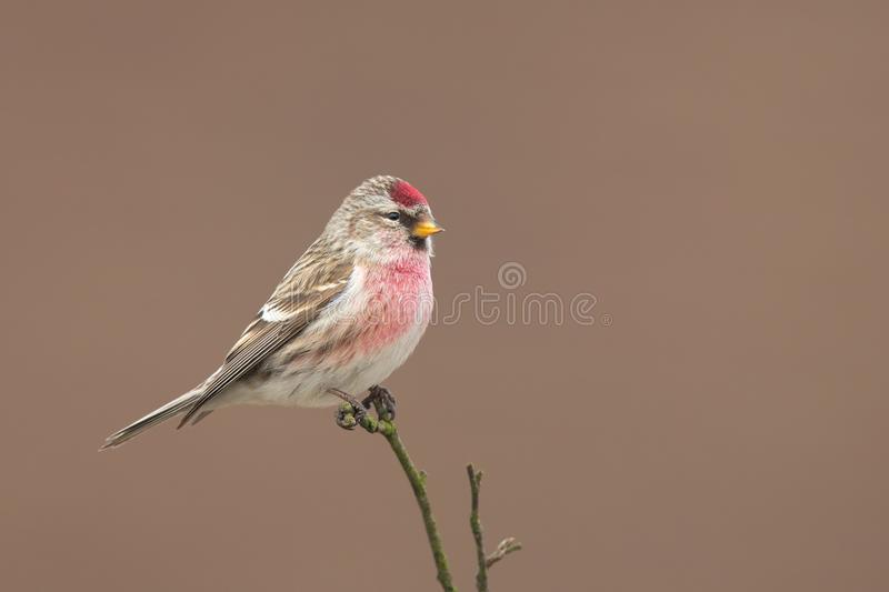 Common Redpoll Acanthis flammea sitting on a twig. Common Redpoll Acanthis flammea sitting on a twig with a nice clear background royalty free stock images