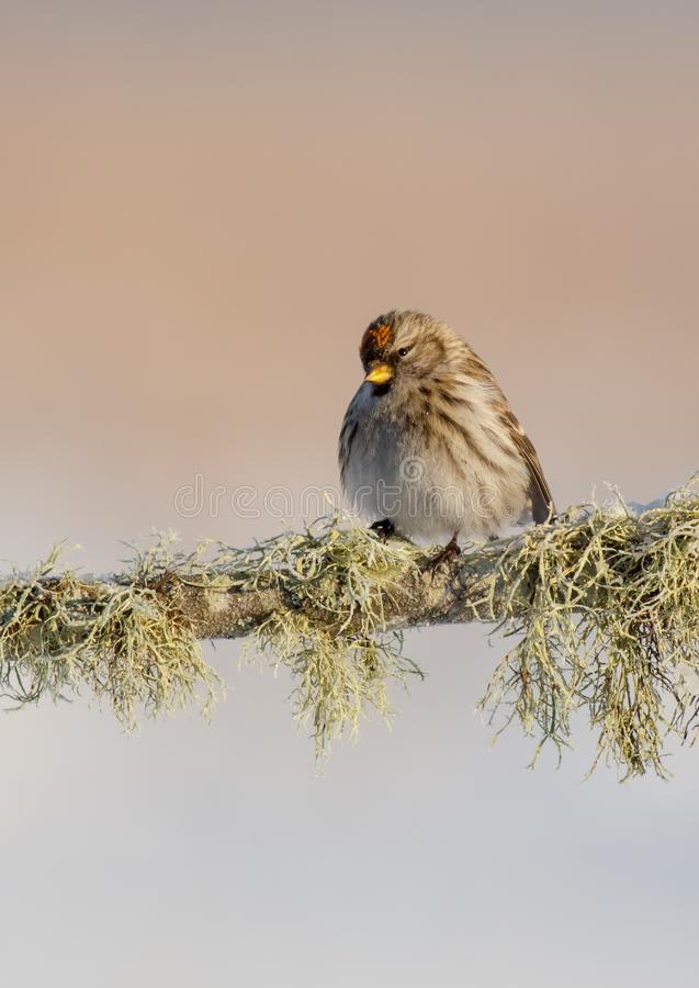 Common redpoll - Acanthis flammea. At a wetland on frosty winter day royalty free stock photo