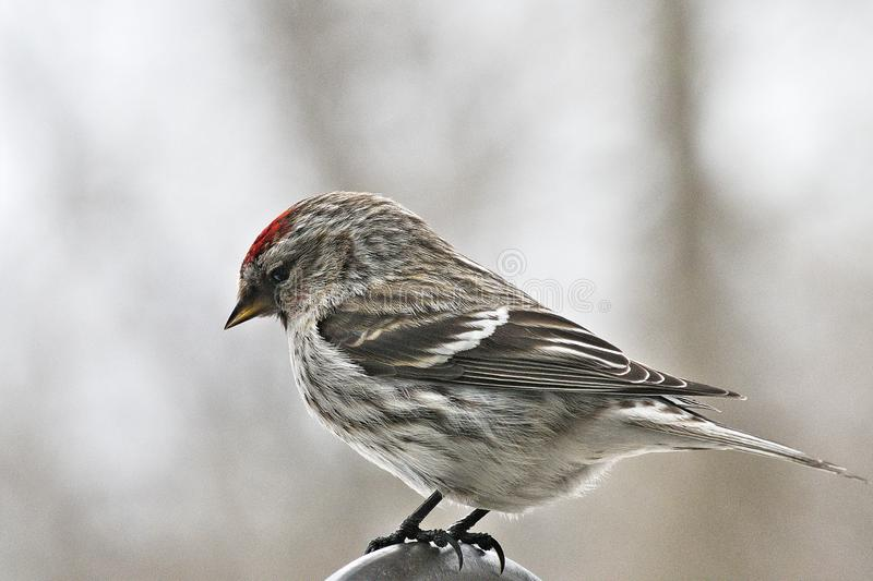Common Redpoll bird, Acanthis flammea, female perched facing left. Soft background royalty free stock photos