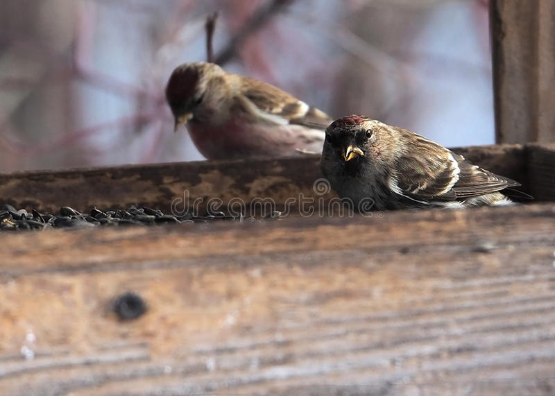 Common Redpoll. In bird feeder in mid February royalty free stock image