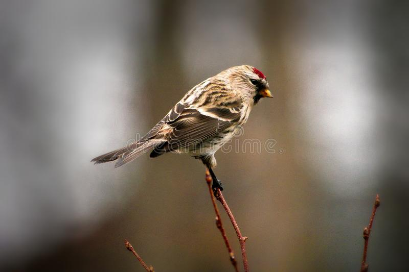 Common redpoll finch - fringillidae acanthis flammea -l bird perched on twig facing right stock images