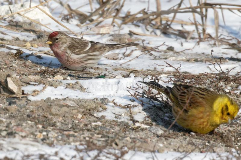 Common Redpoll bird picking up seed royalty free stock image