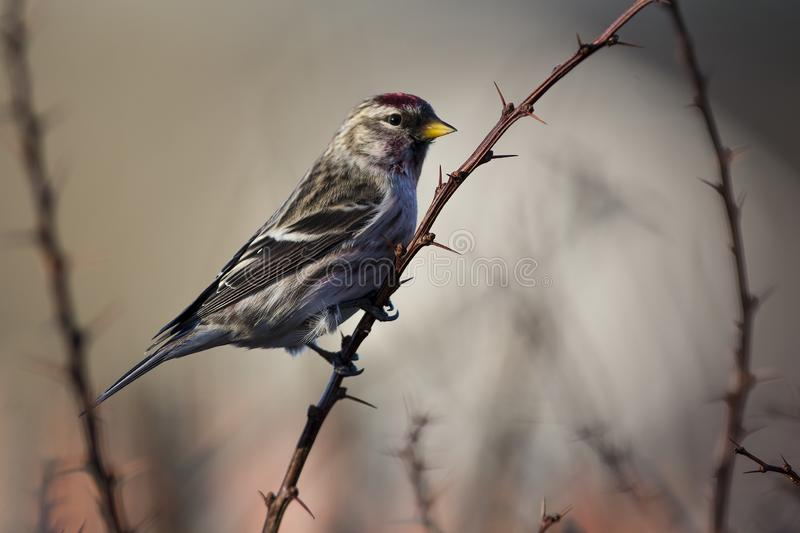 Common redpoll on a branch in Sweden. Common redpoll in a close up, Sweden stock photo