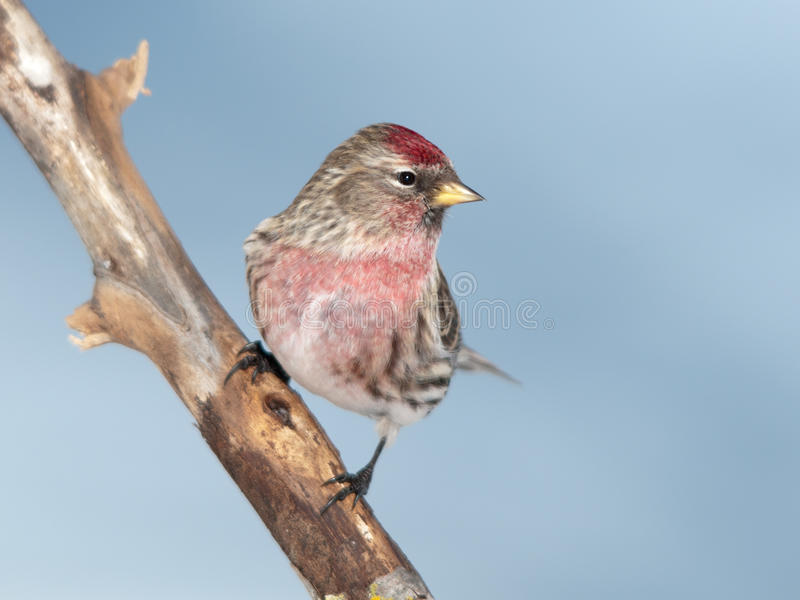 Common Redpoll Carduelis flammea. Perched on a branch royalty free stock photo