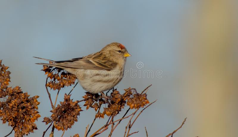 Common Redpoll - Carduelis flammea / Acanthis flammea. At a bird feeder in winter stock image