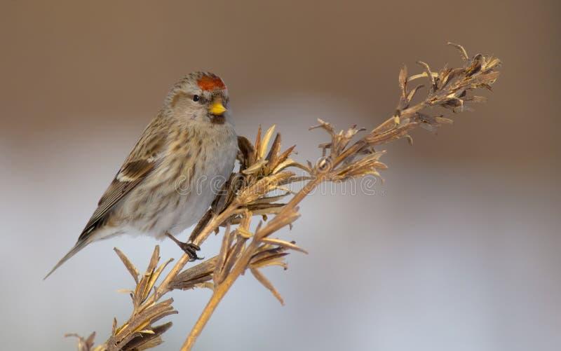 Common Redpoll - Carduelis flammea / Acanthis flammea. In winter near the bird feeder royalty free stock photo