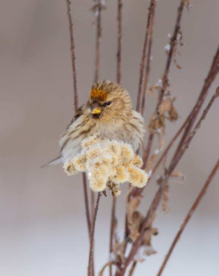 Common Redpoll - Carduelis flammea / Acanthis flammea. In winter near the bird feeder stock images