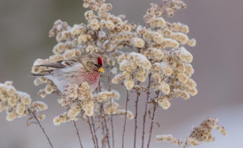 Common Redpoll - Carduelis flammea / Acanthis flammea. In winter near the bird feeder royalty free stock image