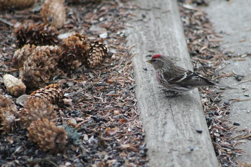 Common Redpoll stock photos