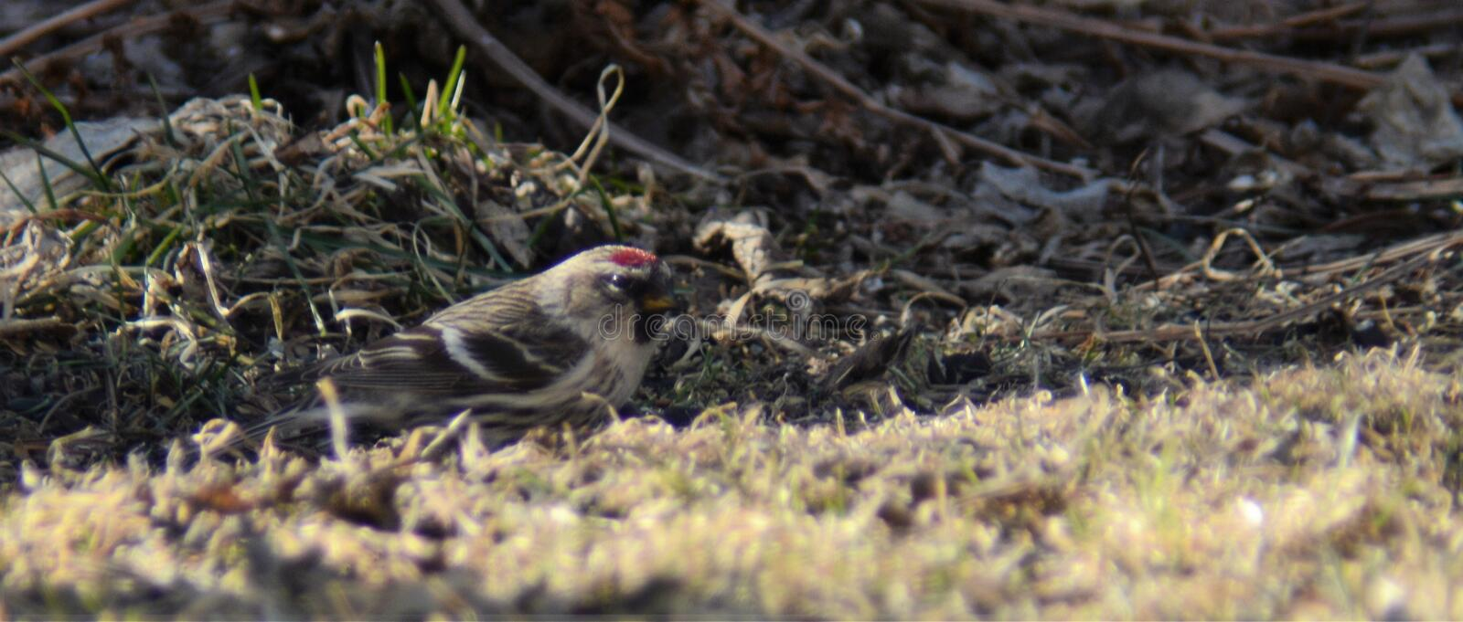 Common Redpoll. Female Common Redpoll; North American indigenous species, early spring foraging for a meal royalty free stock photography