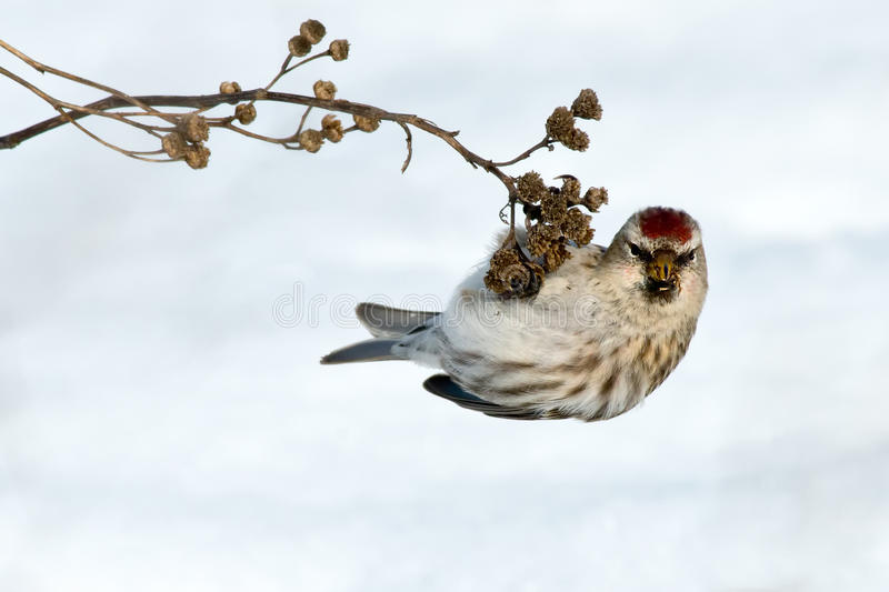 Common Redpoll. Hanging off of a dead weed stock images