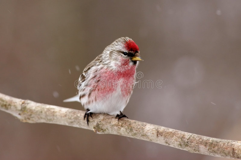 Common Redpoll Male. A Common Redpoll male in winter plumage stock photo