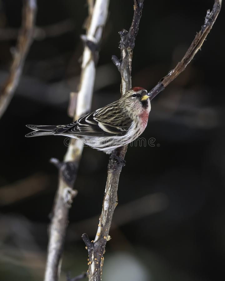 Common Redpoll Male royalty free stock photography