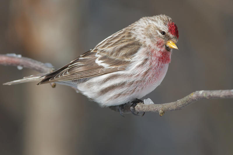 Common Redpoll. Perched on a branch stock photo