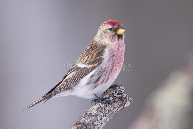 Common redpoll perched on a branch - taken in winter in the Sax-Zim Bog in Northern Minnesota.  royalty free stock images
