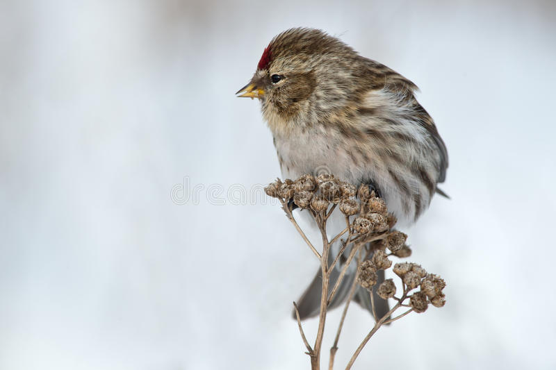 Common Redpoll. Perched on dead weed stock image