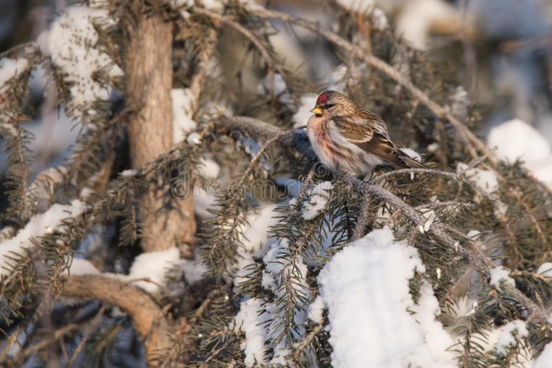 Common Redpoll Perched in Snow-Covered Tree. A Common Redpoll perches in a snow-covered pine tree on a cold morning in Yellowknife, Northwest Territories, Canada stock image