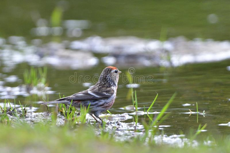 Common redpoll in a puddle. In spring in the forest stock image