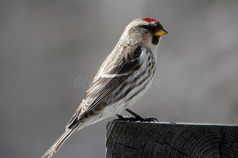Common Redpoll. Common Redpoll sitting on railing royalty free stock photography