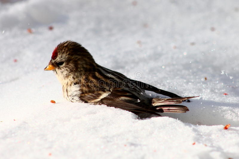 Common redpoll. In the snow eating berries stock image