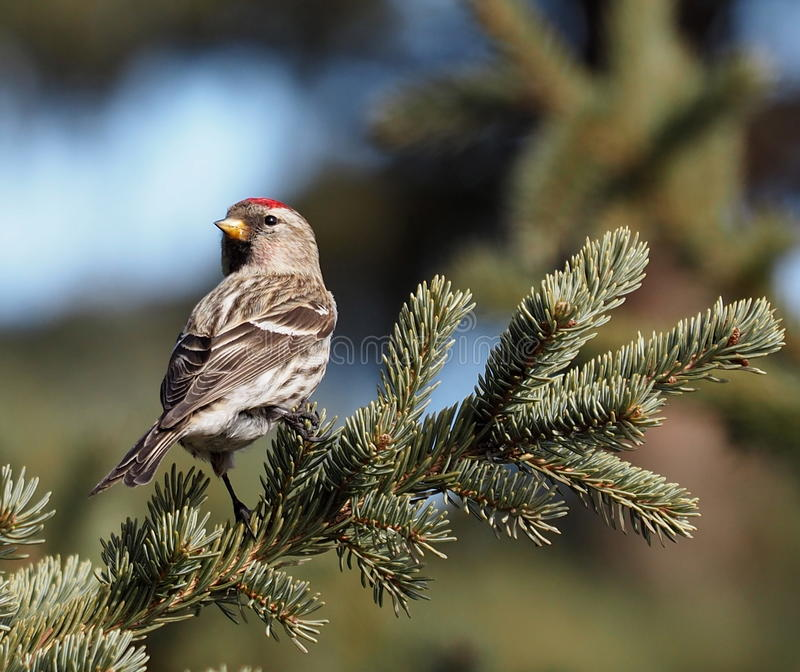 Common Redpoll. In spruce tree in late winter royalty free stock photography