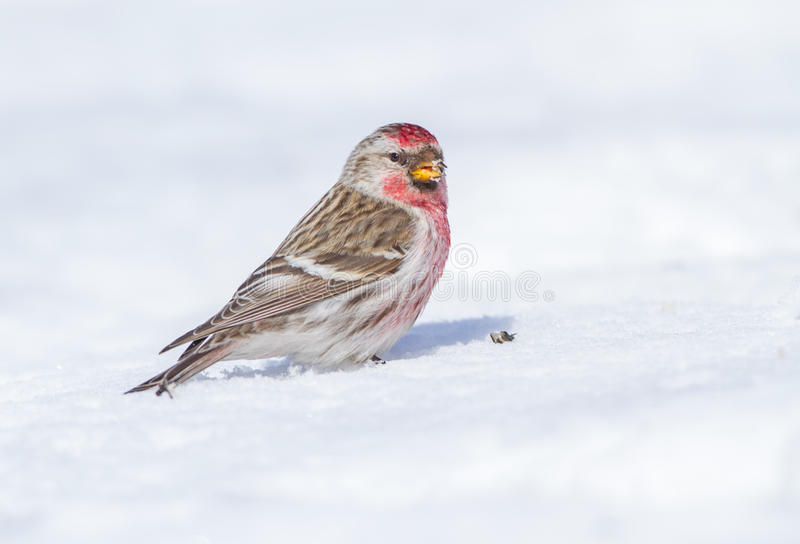 Common Redpoll. A very nice light and tame bird is pleasure for every photographer. A Common Redpoll on the snow royalty free stock photos