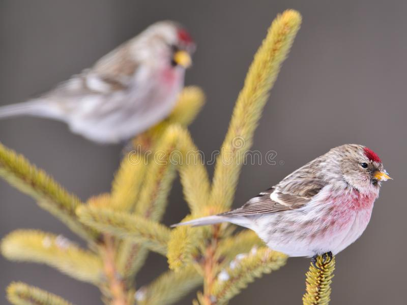 Common redpolls perched on coniferous evergreen tress in winter in the Sax-Zim Bog in Northern Minnesota. Birds royalty free stock photography