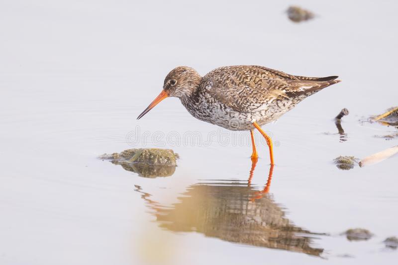 Common redshank tringa totanus bird foraging in wetland. Common redshank bird tringa totanus perched and foraging in water. These Eurasian wader bird are common stock images