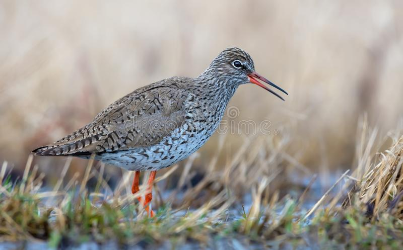 Common Redshank goes calling in dry colored early spring grass of swamp royalty free stock photo