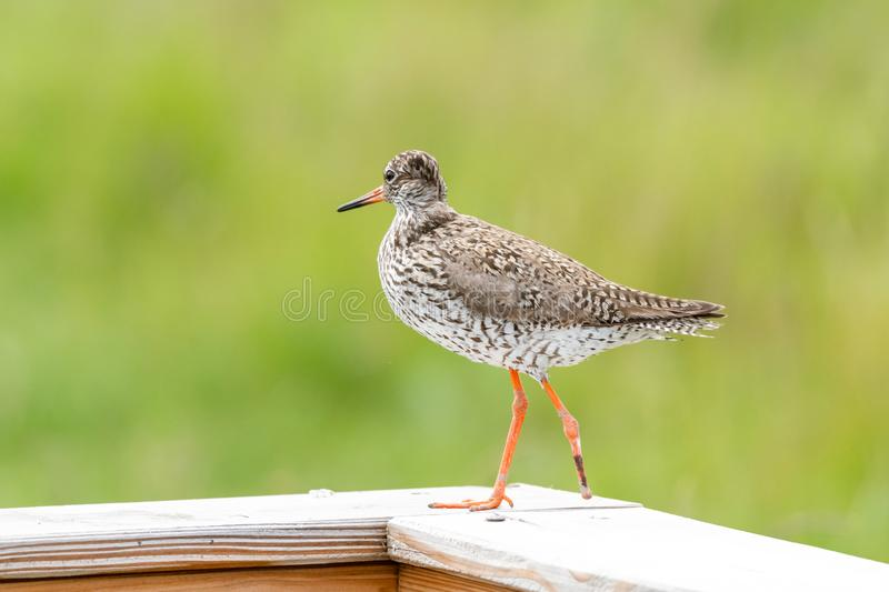 Common redshank in the natural reserve of Amrum in the Northern Sea of Germany (Tringa totanus stock image