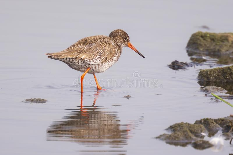 Common redshank tringa totanus bird foraging in wetland. Common redshank bird tringa totanus perched and foraging in water. These Eurasian wader bird are common royalty free stock photos