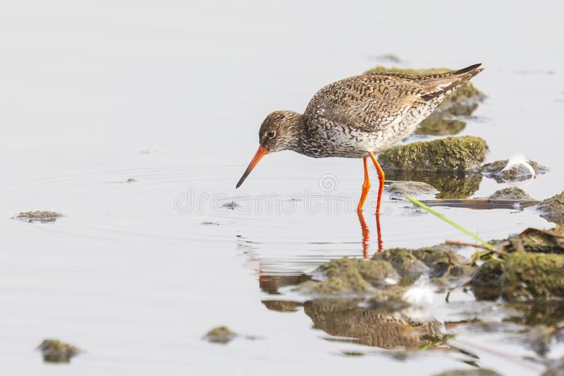 Common redshank tringa totanus bird foraging in wetland. Common redshank bird tringa totanus perched and foraging in water. These Eurasian wader bird are common royalty free stock image