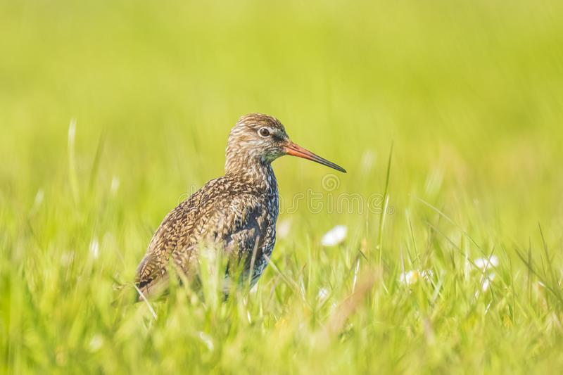 Common redshank tringa totanus in farmland. Common redshank tringa totanus perched and foraging in farmland..These Eurasian wader bird are breeders in the royalty free stock photos