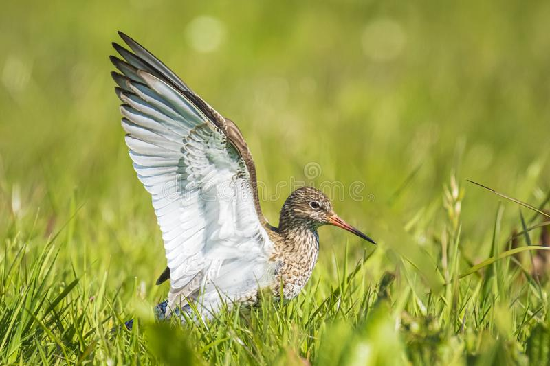 Common redshank tringa totanus in farmland. Common redshank tringa totanus perched and foraging in farmland..These Eurasian wader bird are breeders in the royalty free stock image