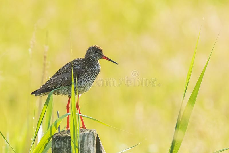 Common redshank tringa totanus in farmland. Common redshank tringa totanus perched on a pole in farmland...These Eurasian wader bird are common breeders in the royalty free stock photos