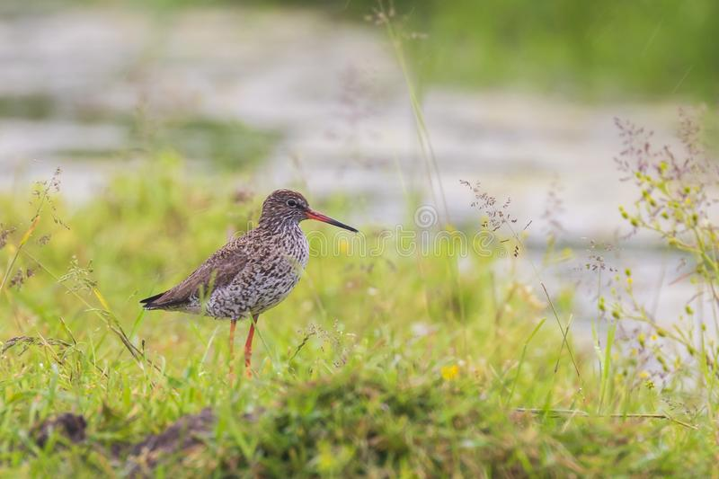 Common redshank tringa totanus foraging in farmland. These Eurasian wader bird are common breeders in the agraric grassland of the Netherlands stock photo