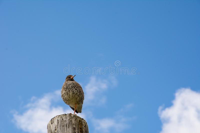 Common Redshank Tringa totanus sitting on a wooden pole royalty free stock photography