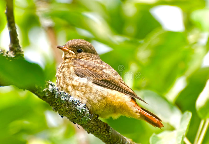 Common Redstart stock photography