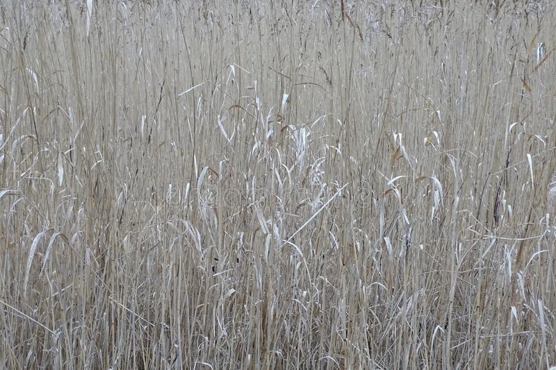 Common reed in dutch landscape near Kalenberg. stock photography