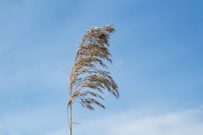 The common reed the most invasive plant in Quebec stock photography