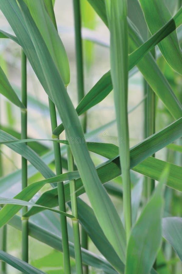 Common Reed Phragmites Leaf, Australis Cav. P. Communis Trin. ex Steud. Japonicus Leaves, Grass-like Plants, Large Vertical stock image