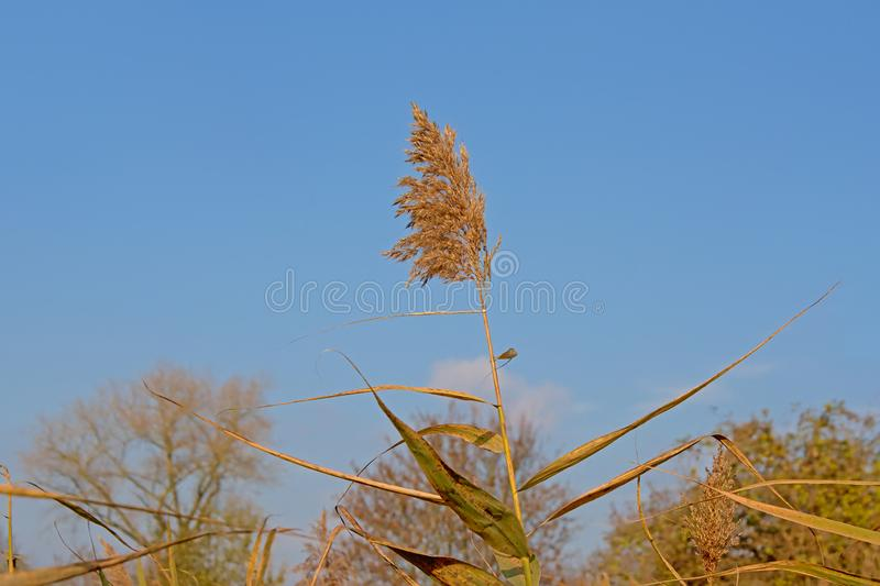 Common reed plume on a sunny day on a blue sky background royalty free stock photo