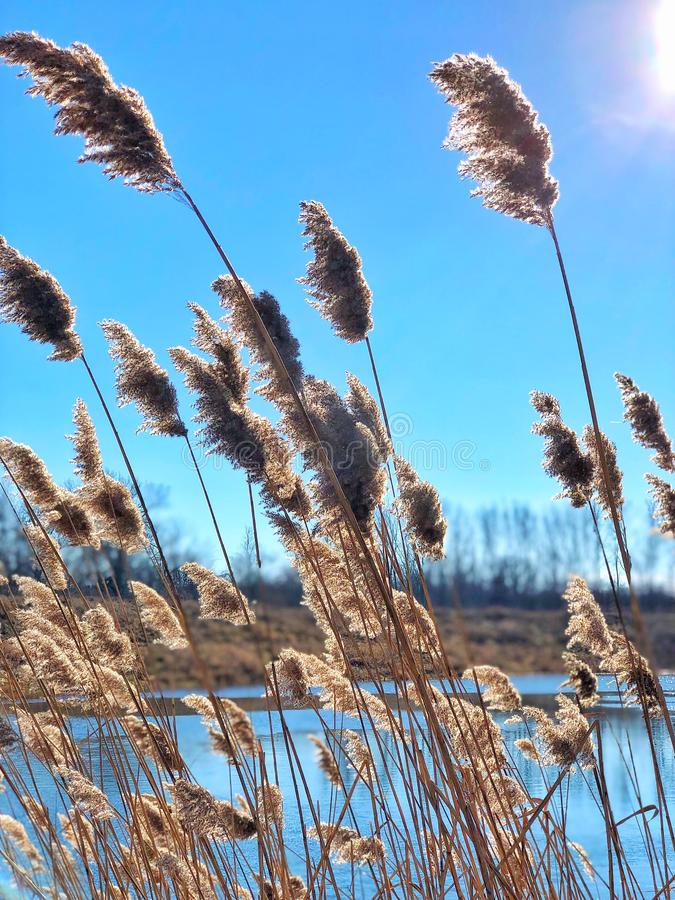 Common reeds royalty free stock images