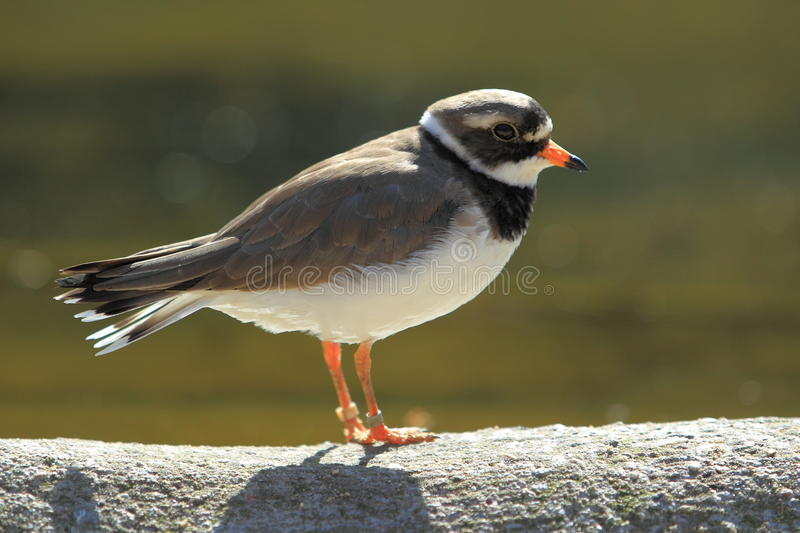 Common ringed plover. The common ringed plover standing on the wall stock photo