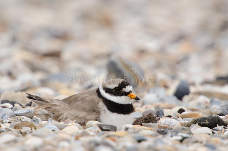 Download Common ringed plover stock image. Image of brood, wildlife - 25162379